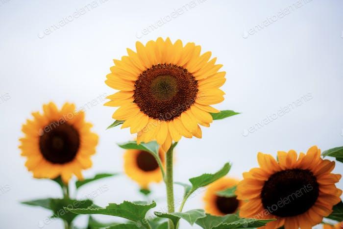 Sonnenblume in der Natur