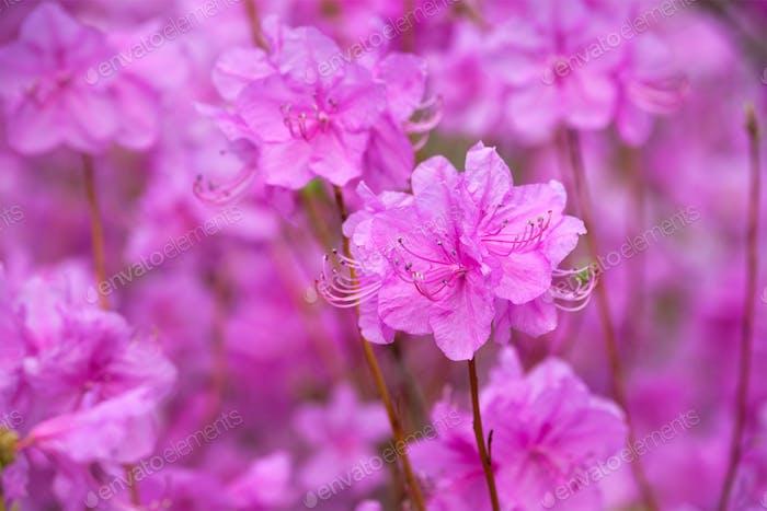 Rhododendron Mucronulatum Korean Rhododendron Blume
