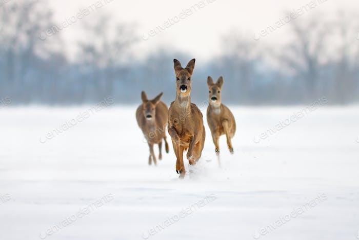 Herd of roe deer running forward in deep snow in winter