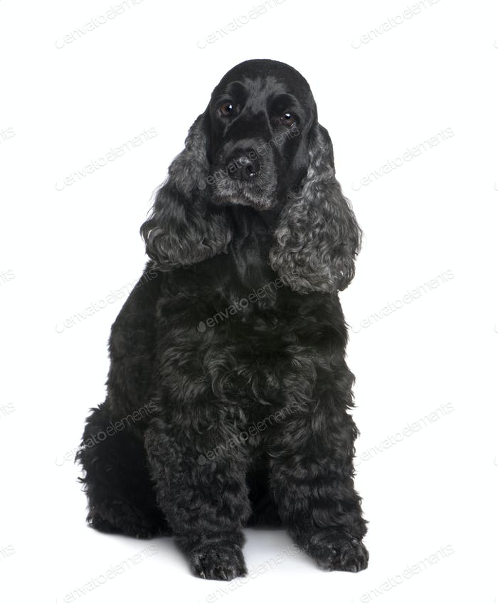 Cocker Spaniel (9 years)