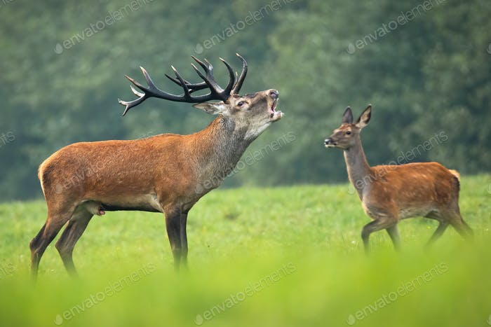 Red deer stag roaring in rutting season and hind walking behind it