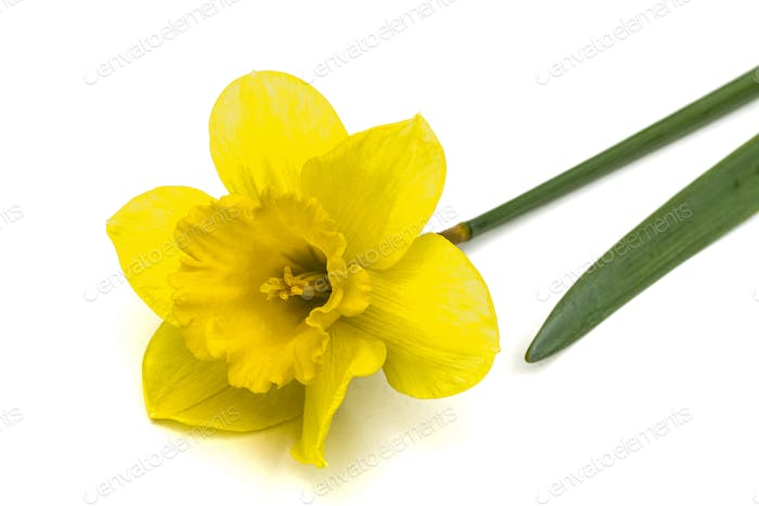 Flower of yellow Daffodil (narcissus), isolated on white backgro
