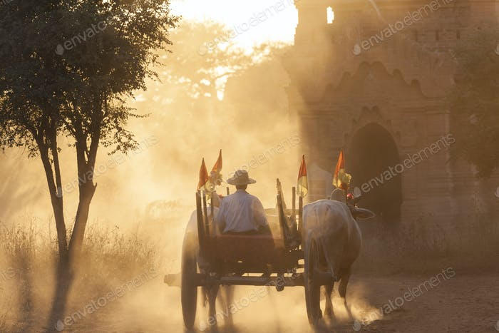 Rear view of man on ox cart driving past pagoda at sunset.
