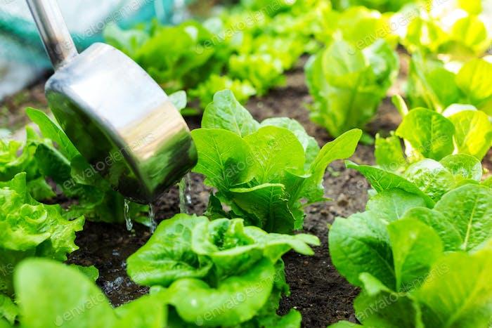 Fertilizes of lettuce field close up