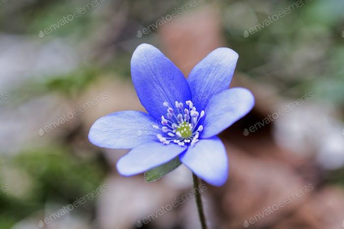 Blaue Frühlingsblume (Hepatica nobilis) im Wald