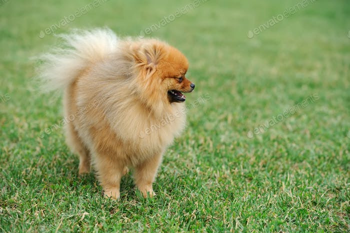 Brauner Pommernhund