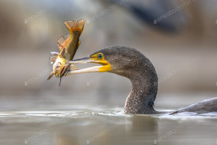 Great cormorant eating Bullhead fish