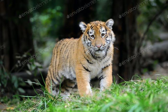 Tiger cub in grass