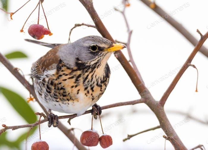 Fieldfare Vogel sitzt auf einem Baum