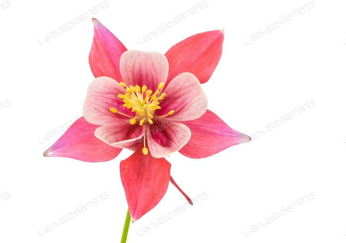 Isolated blossom of Columbine flower