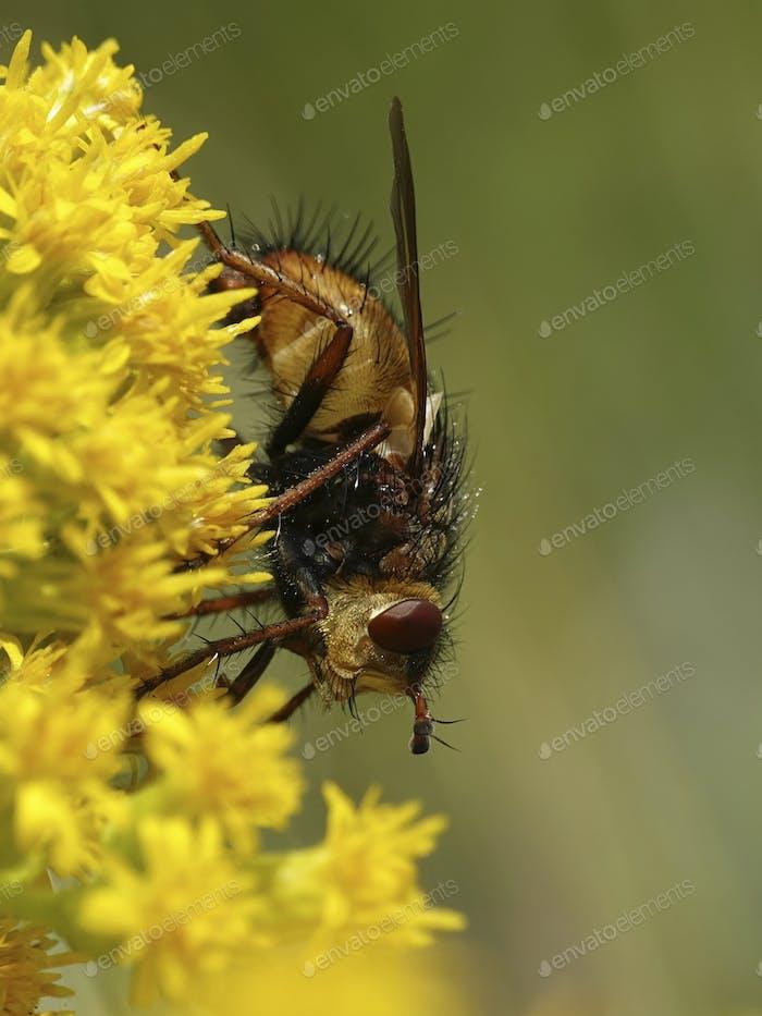 Tachina fera fly