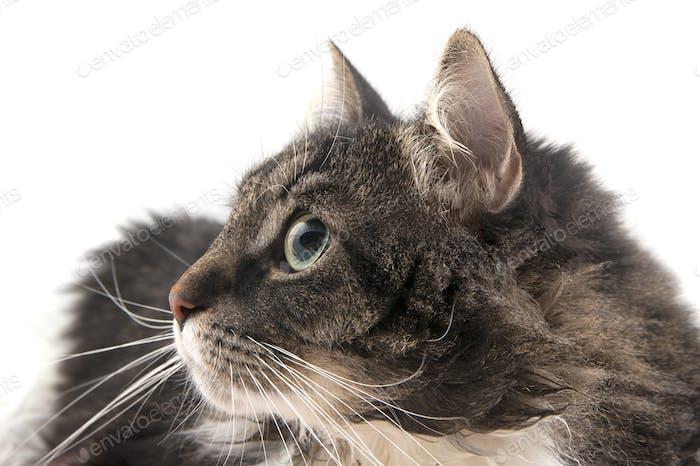 Portrait of a cat close-up in profile.