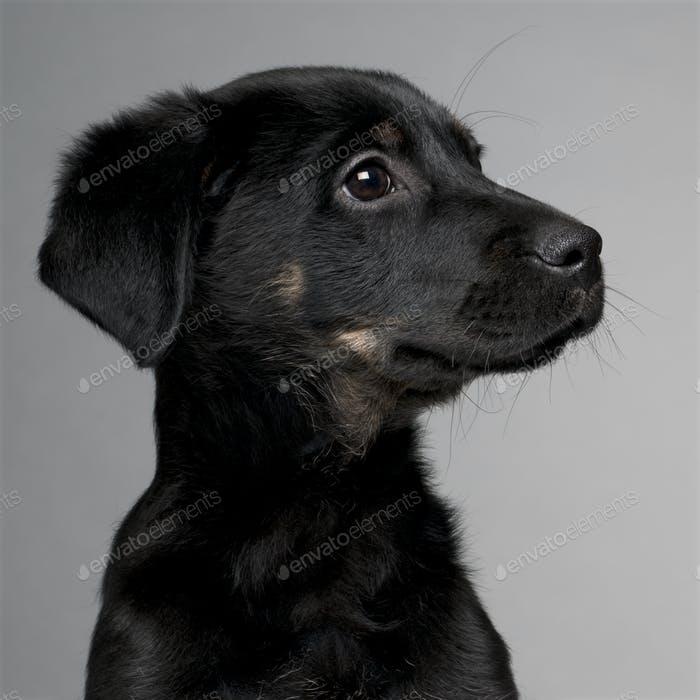 Mixed-breed puppy (3 months old)