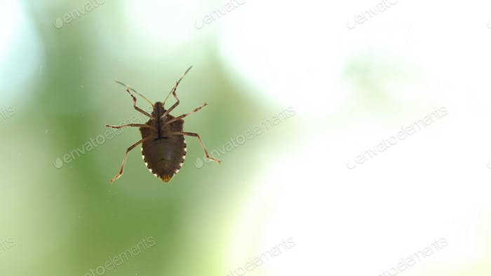 Stink bug crawling on glass surface. Green background with copy space.