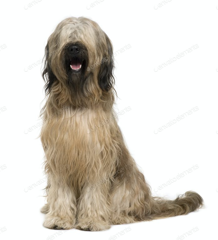 Briard dog, 14 months old, sitting in front of white background