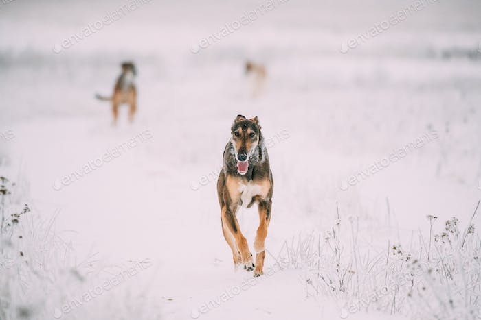 Hunting Sighthound Hortaya Borzaya Dog During Hare-hunting At Winter Day In Snowy Field