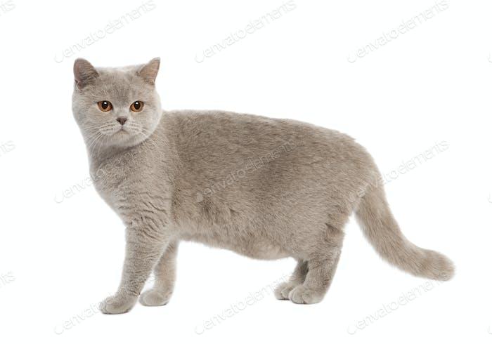 British Shorthair kitten (8 months)