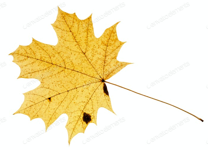 fallen yellow leaf of acer tree isolated