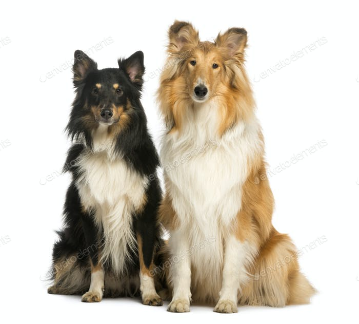Two Berger Shetland, sitting next to each other, isolated on white