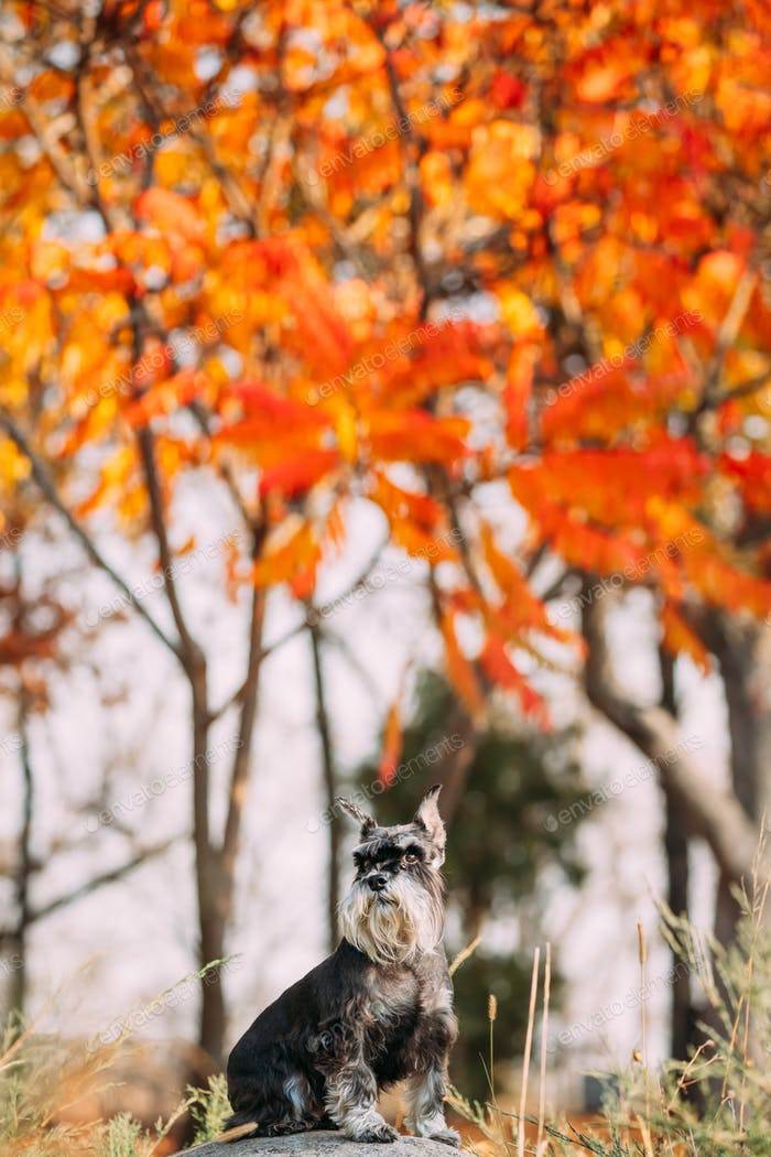 Miniature Schnauzer Dog Or Zwergschnauzer Funny Sitting Outdoor