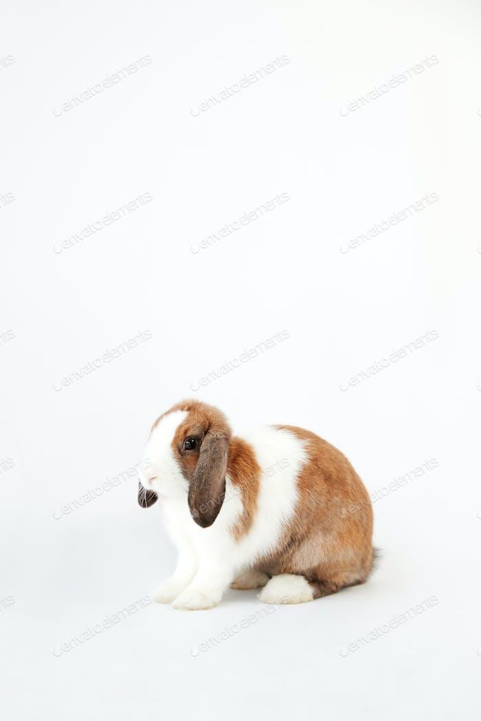 Studio Porträt von Miniatur Braun und Weiß Flop Ohr Kaninchen sitzend auf weißem Hintergrund