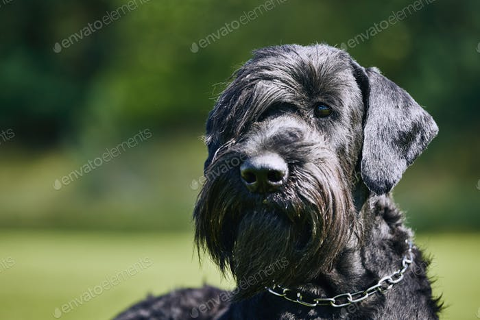 Portrait of Giant Schnauzer