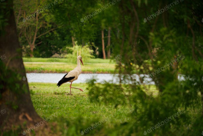 Stork on the meadow
