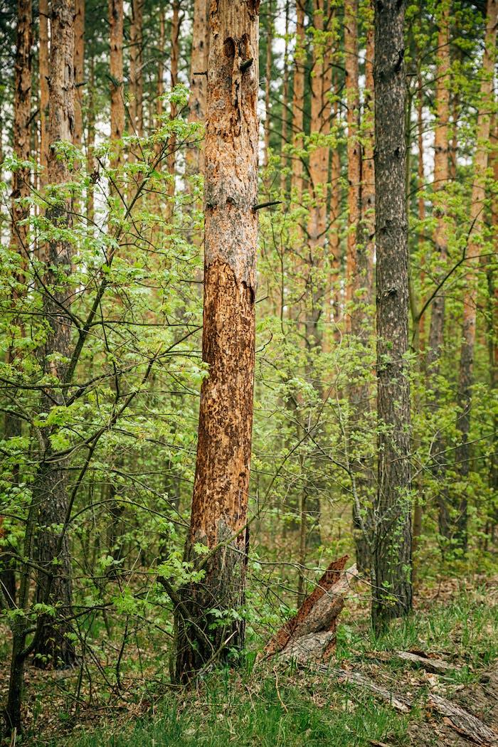 Alte Kiefernrinde fiel von Schäden an Baumstamm durch Insekten - Ameisen