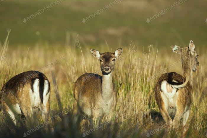 Three female of Fallow deer (Dama dama)