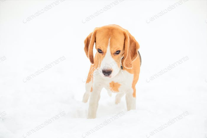 English beagle puppy for a walk on a winter day