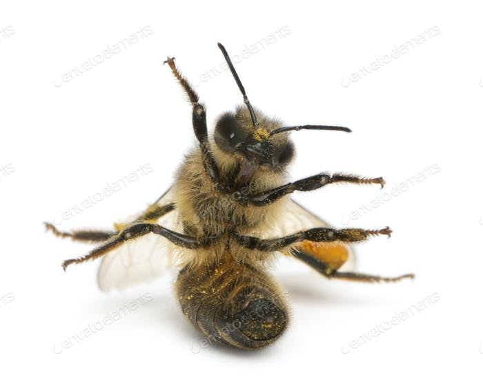Western honey bee or European honey bee, Apis mellifera, carrying pollen