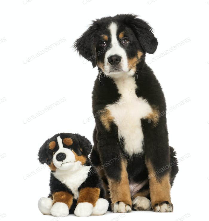 Thumbnail for Young Bernese Mountain dog, 3,5 months old, sitting with teddy bear, isolated on white