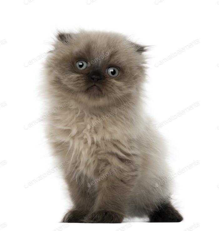 Portrait of Highland fold kitten, 5 weeks old, against white background