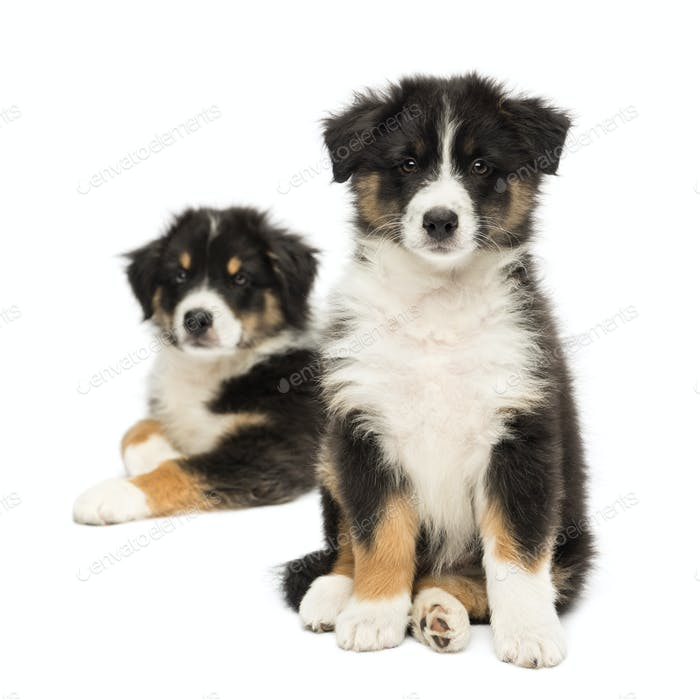 Two Australian Shepherd puppies, 2 months old, sitting with focus