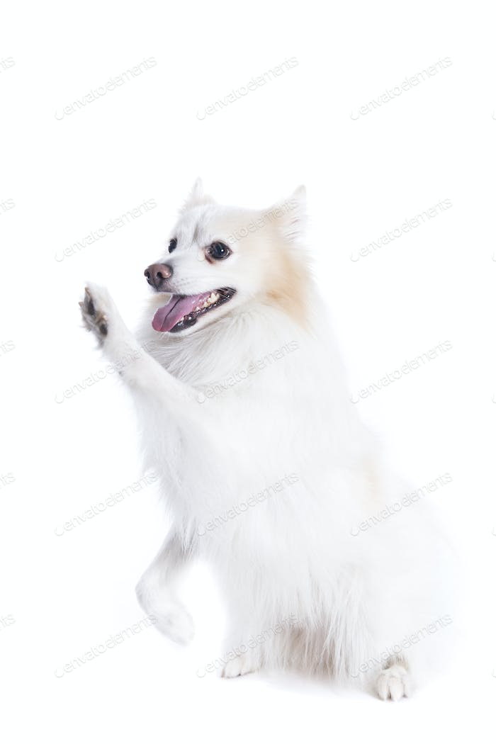 isolated portrait of a german spitz sitting that gives the paw