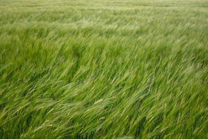 Wind in einem Weizenfeld