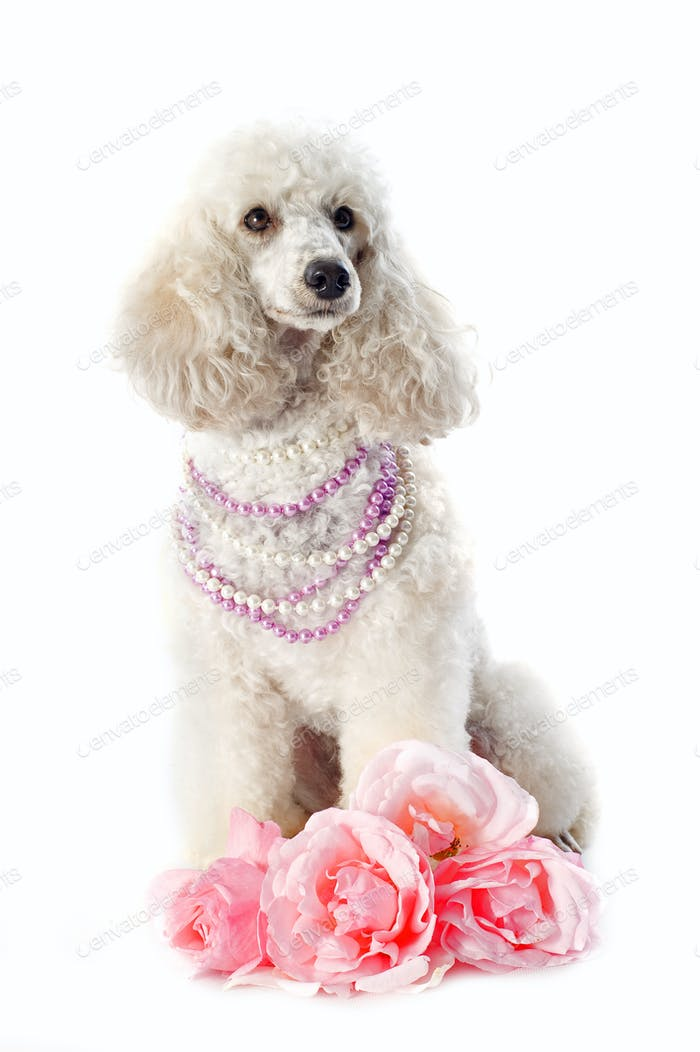 poodle with roses