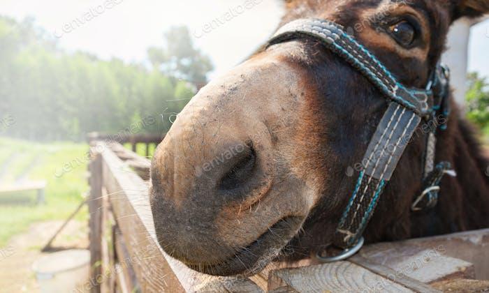 Donkey nose close-up. Funny photo of a donkey face.