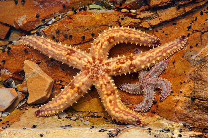 Yellow starfish in rock pool