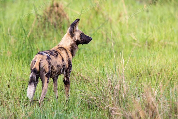 African Wild dog on a hunting mission.