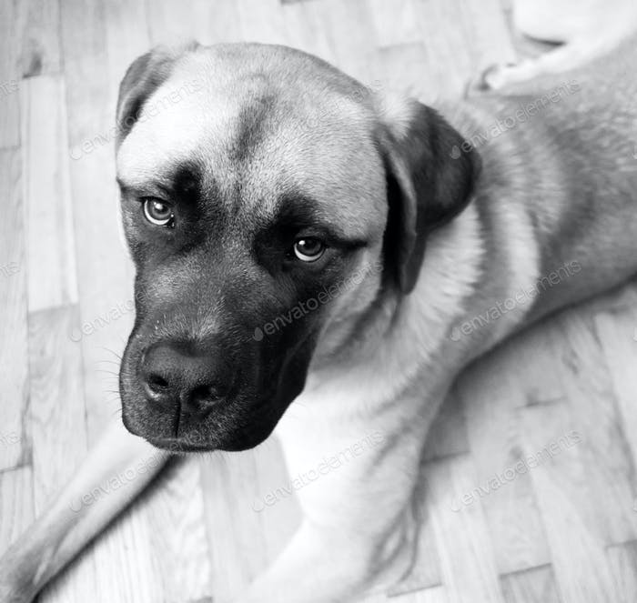English Mastiff Mix Puppy Lays on Floor Looking Up