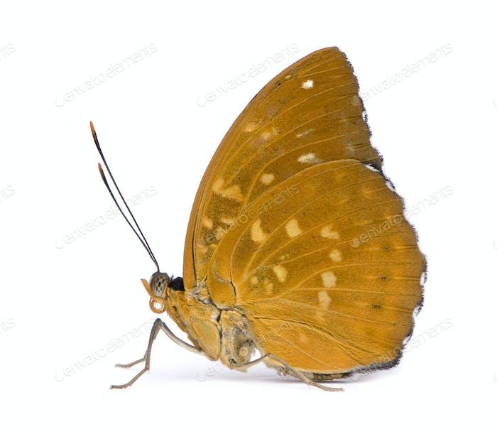 Lexias dirtea (female) butterfly