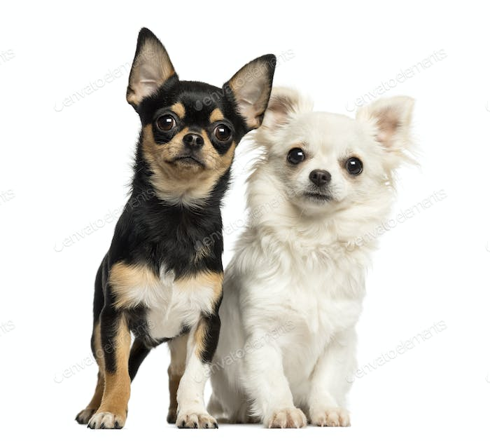 Chihuahua puppies next to each other, looking at the camera, isolated on white