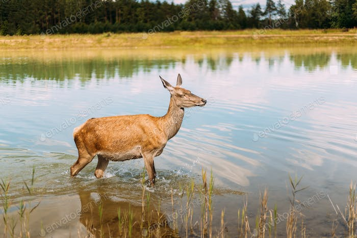 European Roe Deer Walking On Water