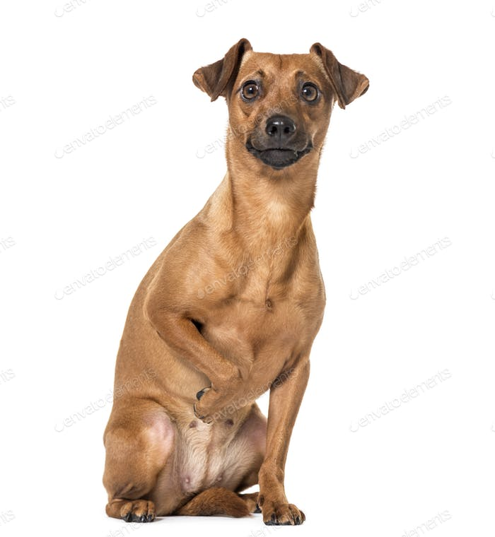 sitting Miniature Pinscher isolated on white