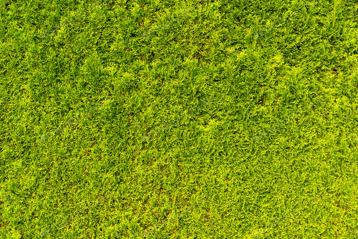 Green and dense Thuya wall texture