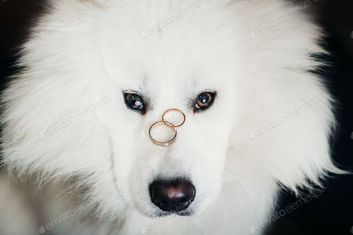 two wedding rings lie on the nose of a large white dog