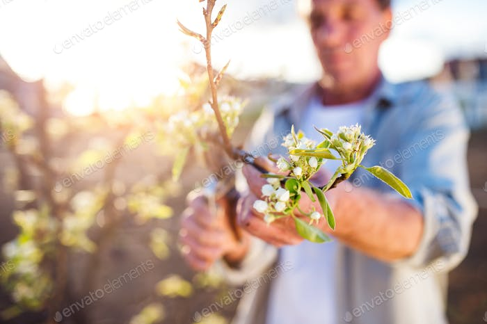 Senior Mann beschneiden Apfelbaum im sonnigen Frühlingsgarten