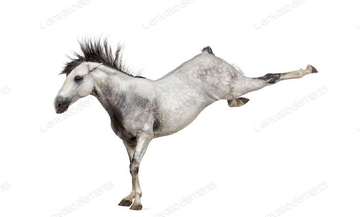 Andalusisches Pferd treten aus