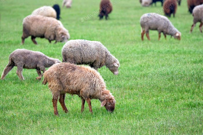 Flock of sheep grazes on a pasture